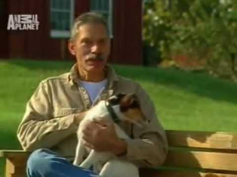 Przewodnik po rasach psów  Jack Russell terrier