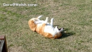 Wait & Run / コーギー 20131114 Goro@welsh Corgi