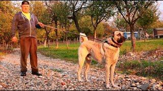 15 căței de ciobănesc KANGAL   Ciobănesc CAUCAZIAN de 110 kg și 92 cm-Canisa REAL DOGS A SOMEȘANULUI