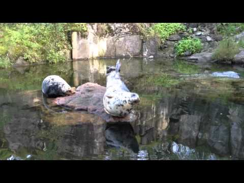 Skansen Zoo Stockholm - Seal - Säl