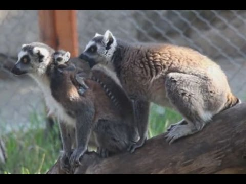 Cute Newborn Ring Tailed Lemur Playing With Parents in Tbilisi Zoo