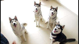 [Cat Live] My sister has 4 huskies and 9 cats, so she became Youtube star with 3 million fans!