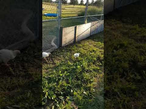 Lots of chicks enjoying their new freedom