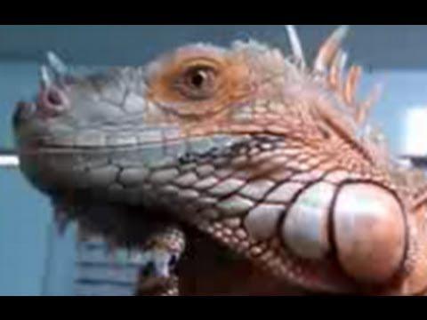 Big Red Iguana