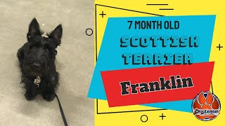 7 Month Old Scottish Terrier, Franklin | Small Breed Dog Training | Off Leash Obedience