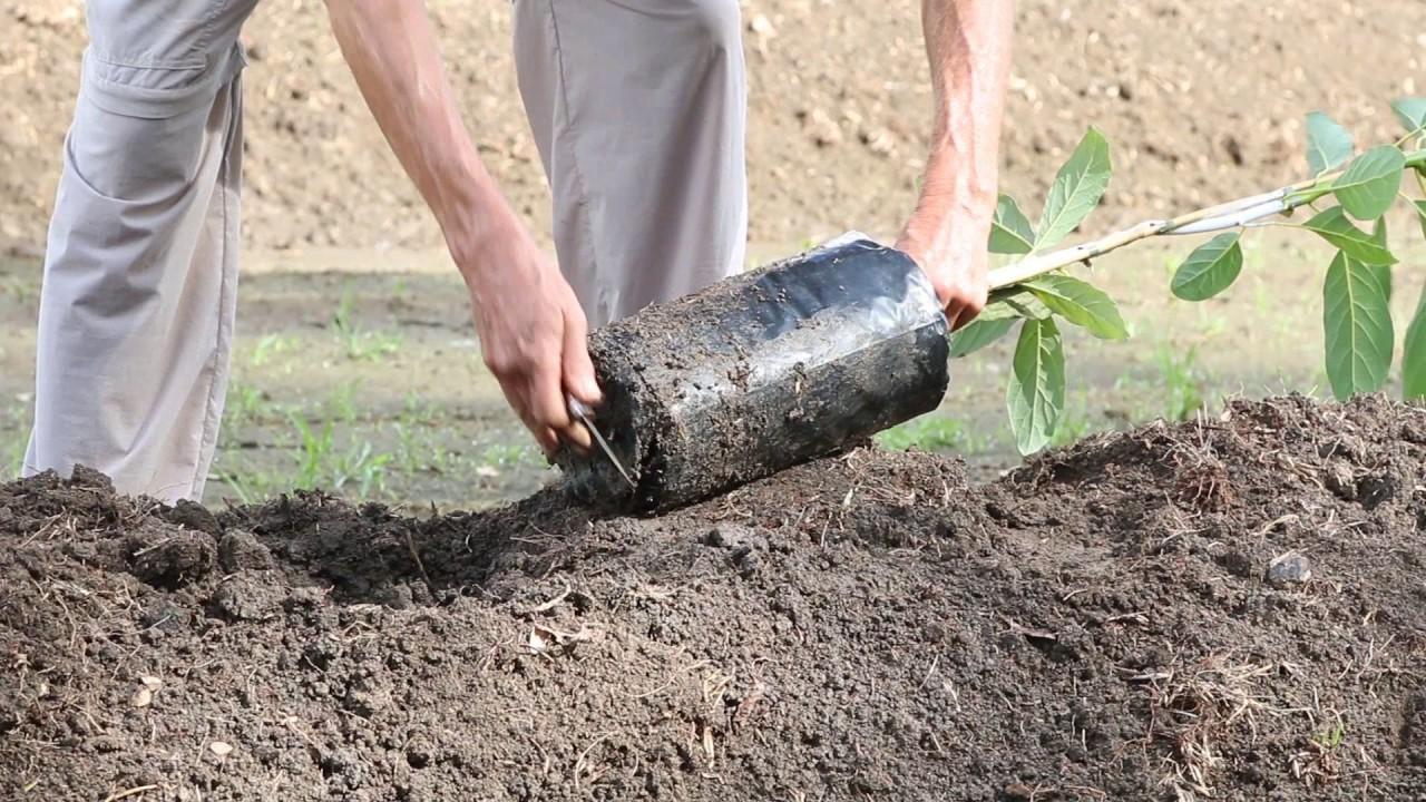 How To Plant An Avocado Tree Youtube