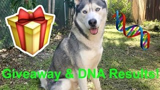Giveaway and Gohan's Husky DNA Results!