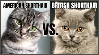 American Shorthair VS. British Shorthair
