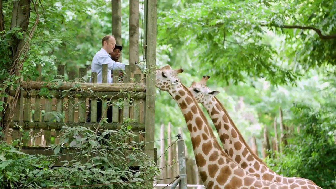 The Lion King Visits The Bronx Zoo Giraffe Landing Youtube