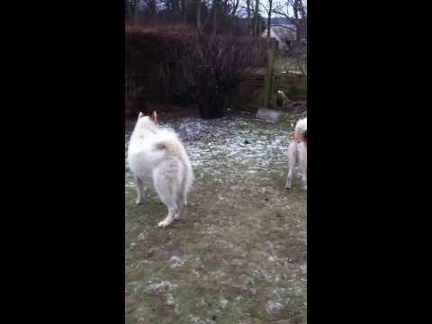 Tallimaat Qeeda Greenland dog for sale2
