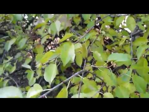 степная вишня фото