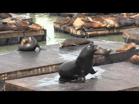 San Francisco California The Seals at Pier 39, Fishermans Wharf