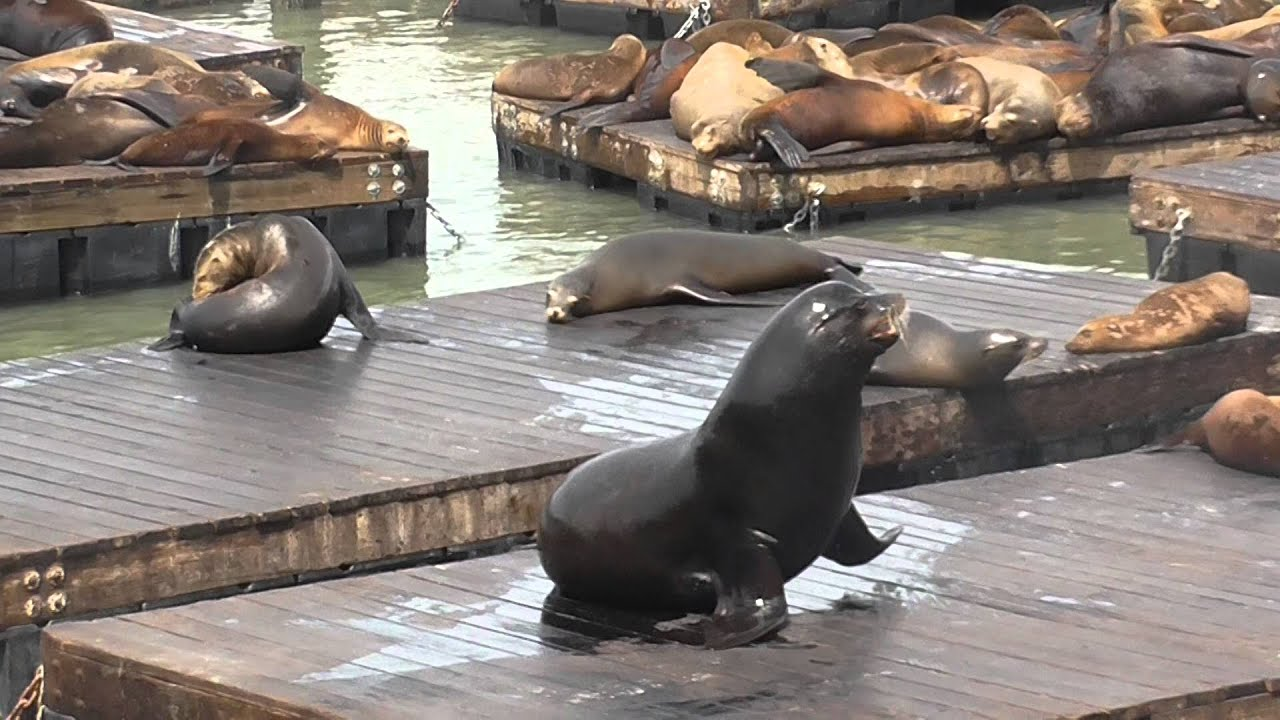 San Francisco California The Seals At Pier 39 Fishermans Wharf Youtube