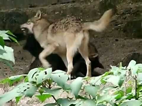 Black wolves wild grey wolves fighting youtube sciox Images