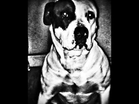 American pit bull terrier breed 2017