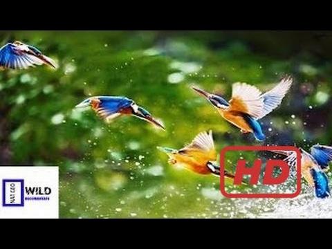 Documentary Birds [Nat Geo Wild Documentary] Bird & Multi Species Wild Discovery Channel HD 720p