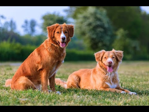 Nova Scotia Duck Tolling Retriever / Dog Breed
