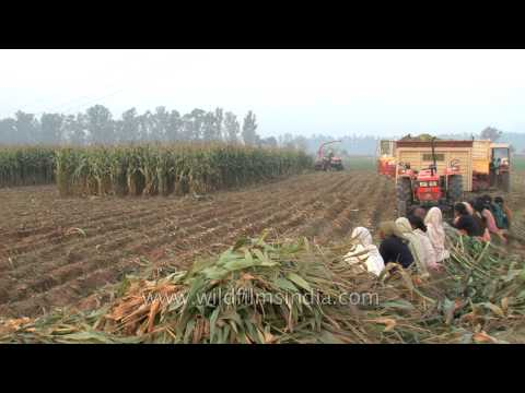 Forager moving through the maize fields