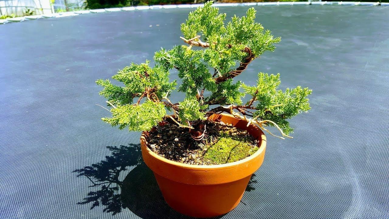 Juniper Procumbens Nana Complete Styling Bonsai Tree Video For Beginners Youtube