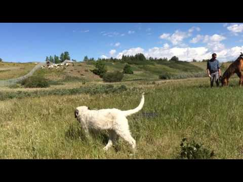 Calgary's goats get to work on invasive weed pilot project