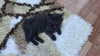 Сибирский голубой котенок