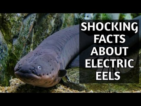 5 Shocking Facts about Electric eel's