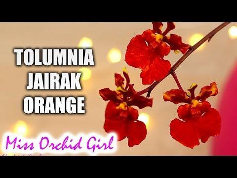 Tolumnia Jairak Orange - We love mini Orchids!