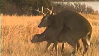 Repeat youtube video deer matting with a buck in deer matting season.