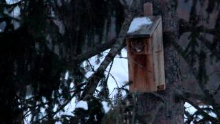 Eastern Screech Owl Leaving Nest Box