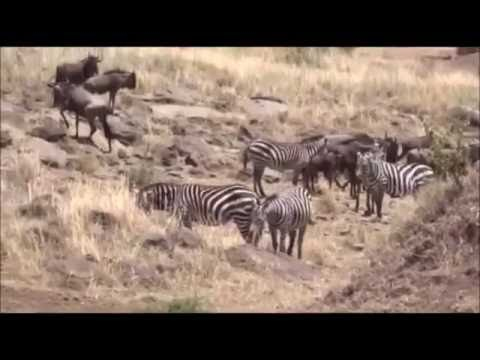 Safari Live on Face Book from Massai Mara Kenya with James , Graham and Peter  Aug 28, 2016