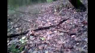 Черные грузди,настоящие .Грибы,лес.Луговцы.