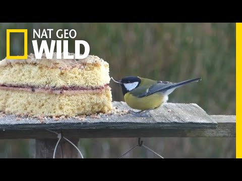 A Missing Upper Beak Doesn't Stop This Little Bird From Eating Cake | Nat Geo Wild