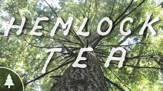 Eastern Hemlock & How to Make Hemlock Tea - Wild ID