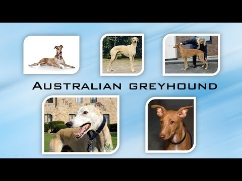 Australian Greyhound by World of Dogs