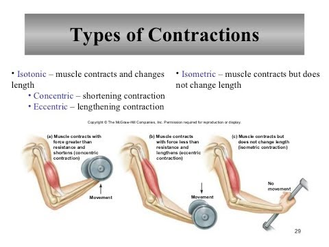 Muscular System Contraction Of Motor Units Youtube