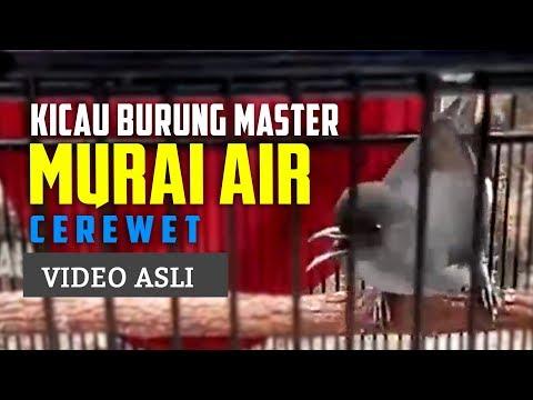 Murai Air Gacor - Masteran Cililin Alternatif