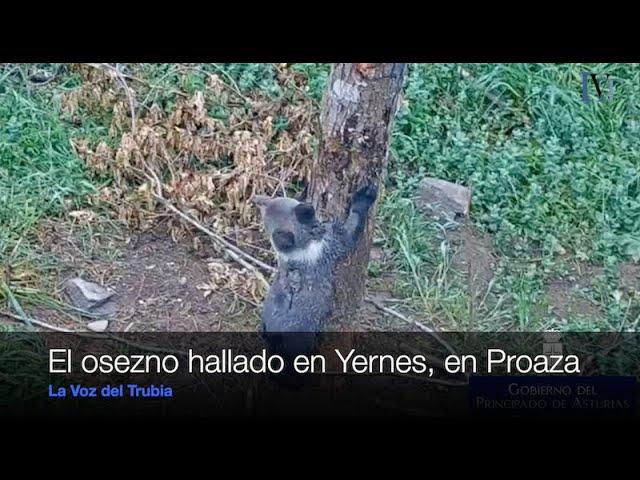 El osezno encontrado en Yernes y Tameza se recupera en Proaza
