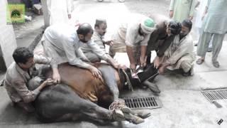 Animals Sacrifices On Eid-ul-Adha 2015 At Ghousabad Shareef