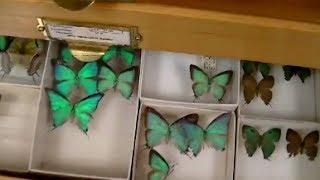 коллекция бабочек в хранилище музея. Живые палочники. Entomology Collection. Butterflies, beetles