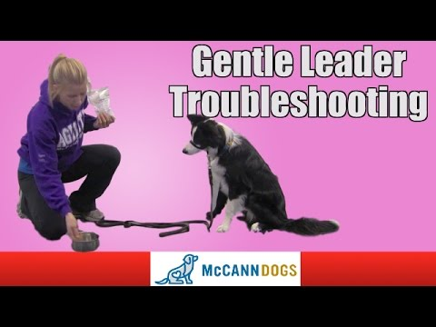 How To Use A Gentle Leader Youtube