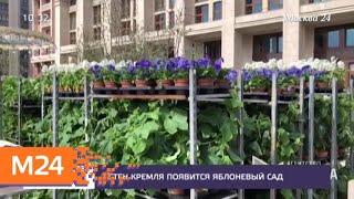 Смотреть видео У стен Кремля появится яблоневый сад - Москва 24 онлайн