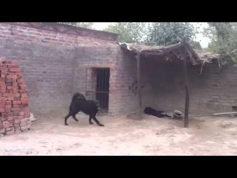 my dogs in pakistan