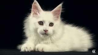 Котенок мейн-кун, окрас белый, Ostin Grey Claw`s в 9 недель http://coonplanet.ru/