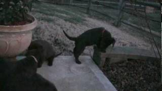 Day 44 - Mocha's Chocolate Labrador Retriever Puppies Are Now Three
