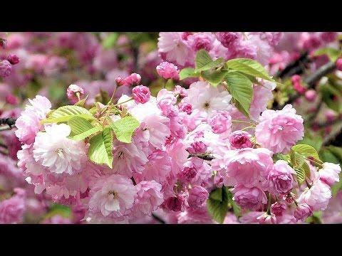 造幣局 桜の通り抜け 2016 Double Cherry Blossoms in Osaka [4K]
