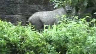 Japanese Serow Mountain Goat Walking Through Village Trails