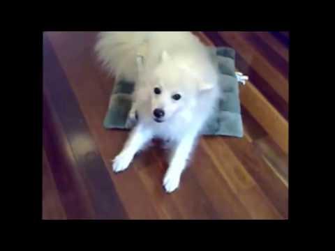 Pet Dogs  FUNNY JAPANESE SPITZ