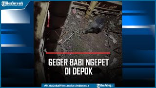 Geger Penampakan Babi Ngepet di Depok Ditangkap Warga