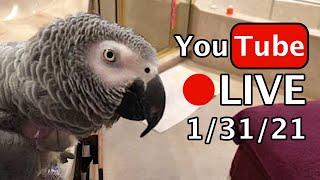 🔴🐦Einstein Parrot LIVE! 1/31/21