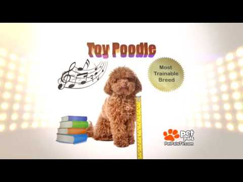 Know Your Breed - Toy Poodle